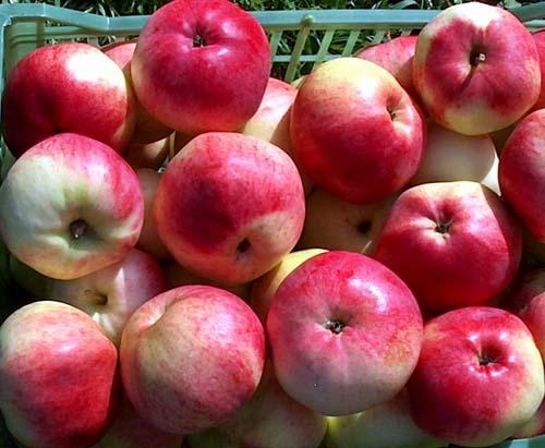 марат бусурин яблоня фото описание