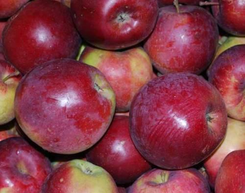 спартан яблоко фото