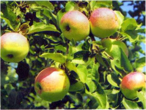 Яблоня восход